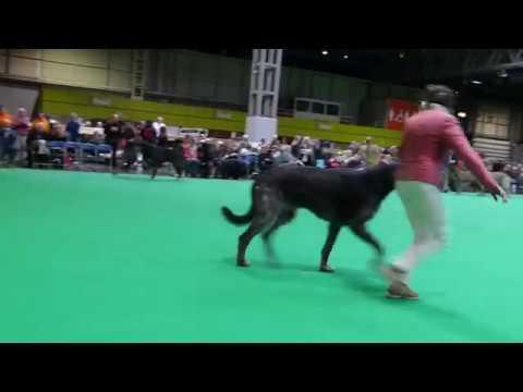 Crufts 2018 Dogs Open Class Irish Wolfhound