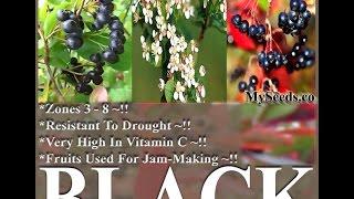 BLACK CHOKEBERRY - Aronia melanocarpa Seeds  on  www.MySeeds.Co
