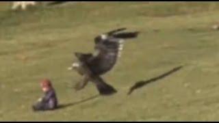 Adlerattacke auf Baby - Steinadler fliegt mit Kleinkind davon
