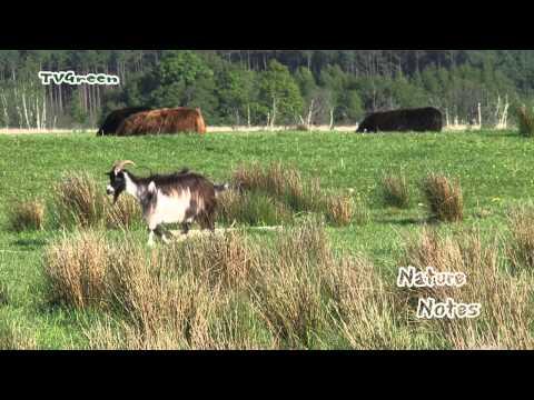 Wild Peers: Dutch Landrace Goats - Nederlandse Landgeiten