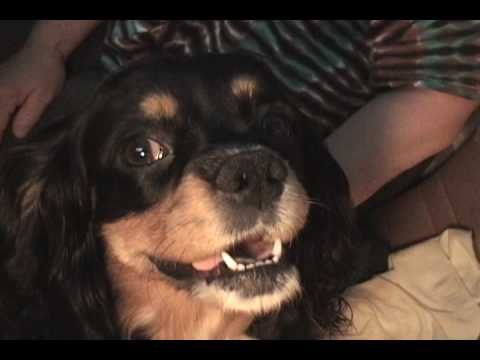 cavalier-king-charles-spaniel-birth!