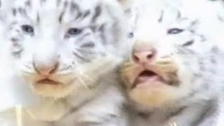 Rare White Tigers Born at German Zoo - Aborable Footage!