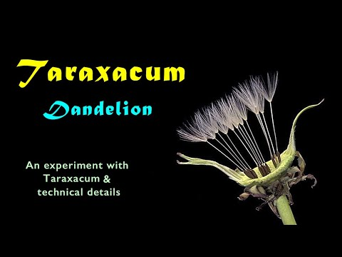 An experiment with Taraxacum (dandelion) and technical details (Hd 720p)