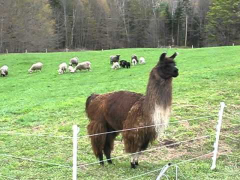 Llama Herding ORIGINAL