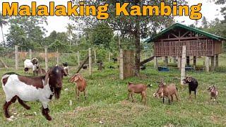 GOAT FARMING | Goat Management | Goat Housing | Pag aalaga ng Kambing