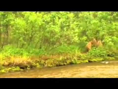 Mama grizzly charges to defend her cubs
