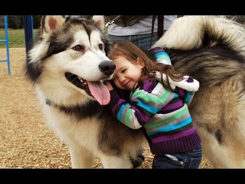 Alaskan Malamute Dog Playing And Showing Love To Babies Compilation – Dog Loves Baby Videos