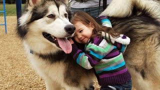 Alaskan Malamute Dog Playing And Showing Love To Babies Compilation - Dog Loves Baby Videos