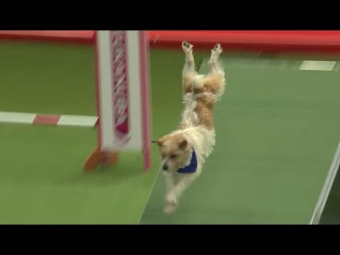 Olly the Jack Russell - Crufts 2016