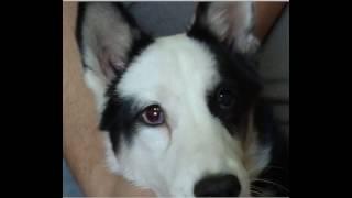 Протезирование глаза собаки. Клинический случай.