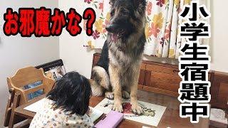 grandchild and #GermanShepherd dog 大型犬#ジャーマンシェパード犬マ...