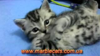 Британские котята окраса вискас Litter U 1 месяц 10 дней