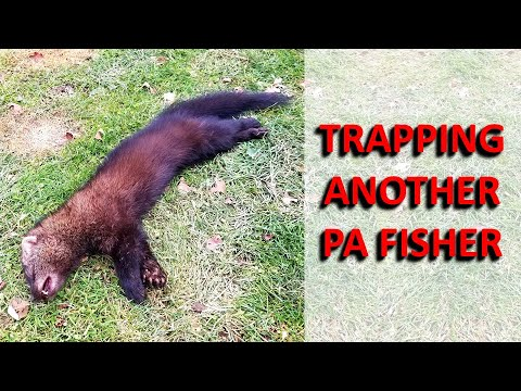 PA Fisher Trapped (2nd Year In A Row)