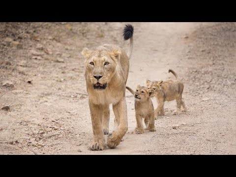 Protecting Asiatic lions in the Gir Forest
