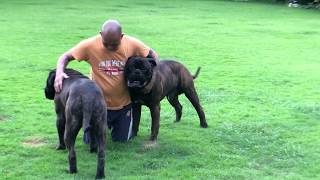 Bullmastiff brindle at the garden, big head and body..
