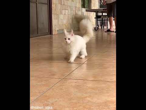White Cat fails to hunt ping pong ball