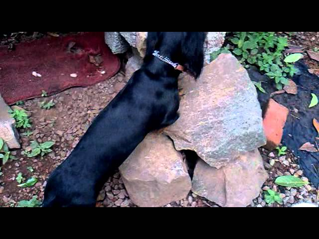 dash hound tuttu playing in digson sani house kottanellur Travel Video