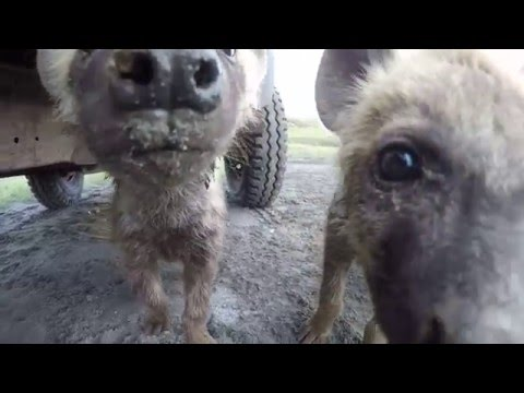 Cute and Curious - Spotted hyena cubs in the Ngorongoro Crater