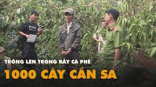 """""""Nông dân"""" trồng lén 1000 cây cần sa trong rẫy cà phê"""