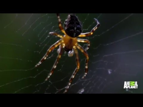 Radioactive Spiders of Chernobyl