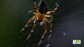 Radioactive Spiders of Chernobyl