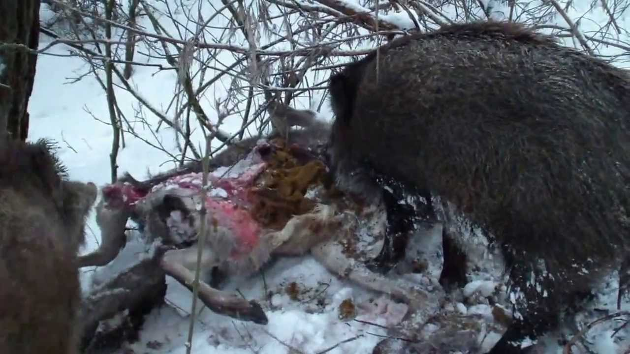 What does the wild boar eat What do boars feed in the forest