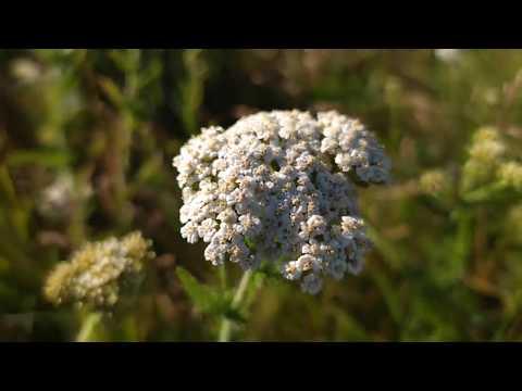 Лекарственные травы. Тысячалистник обыкновенный