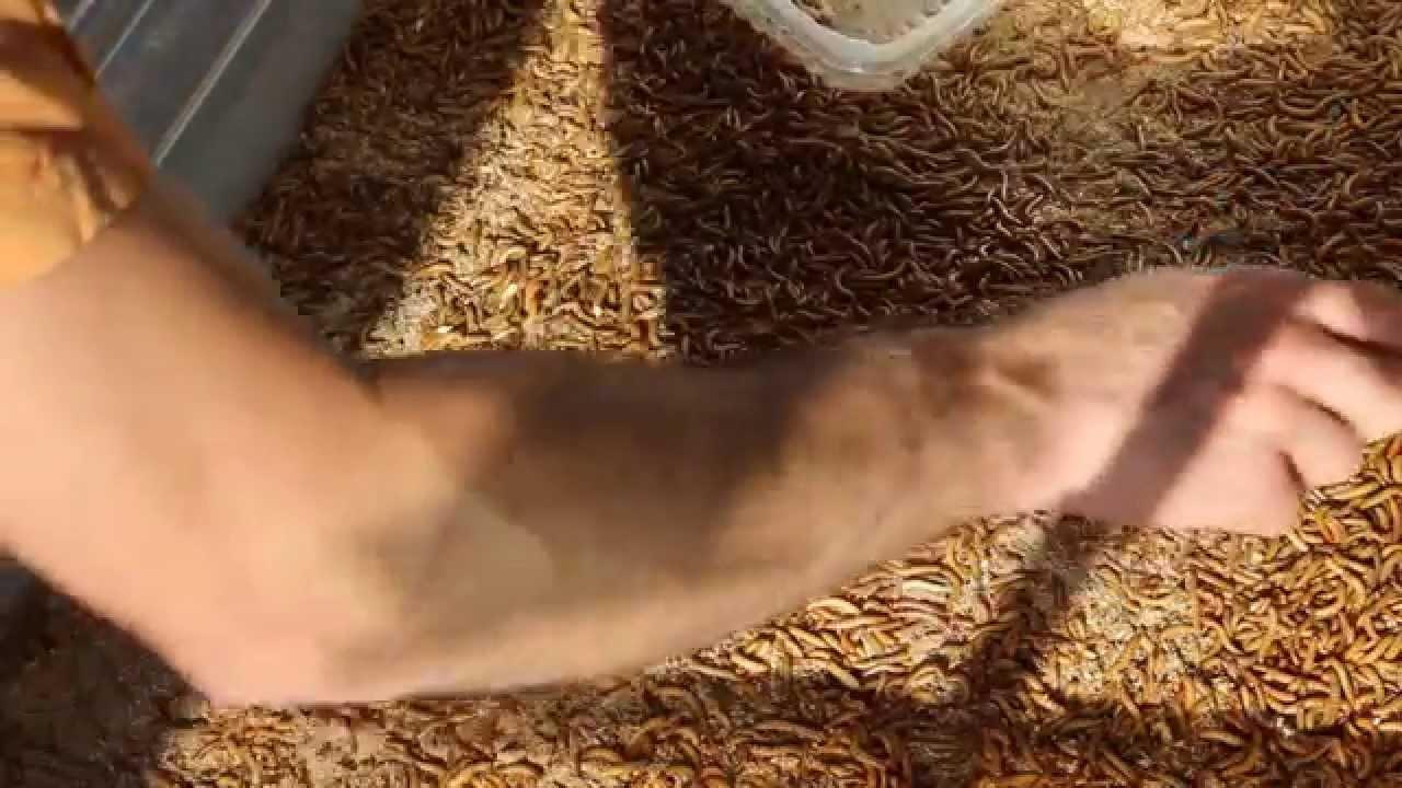 Mehlwürmer Füttern