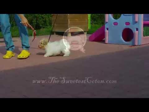 Coton de Tulear Puppy - McLaren The Sweetest Coton
