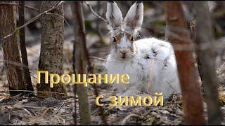 Прощание с зимой / Заяц-беляк / Lepus timidus L.