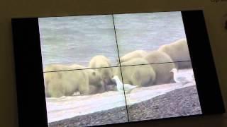 Никита Овсянников, Фото и видеосъемка диких животных Арктики  часть-5