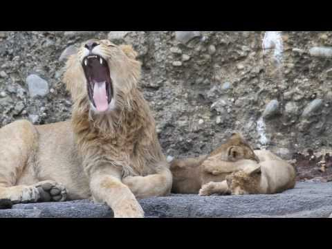 Lion stories: The big brother - Zoo Zrich
