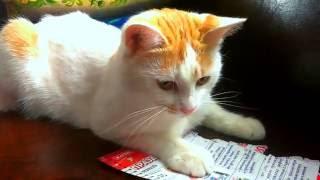 Голодный кот ест бумагу
