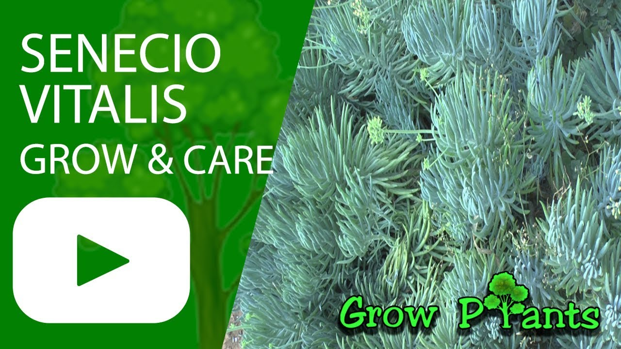 senecio vitalis grow amp care senecio cylindricus youtube