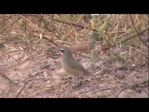 Siberian Ruby-throat bird video - YouTube