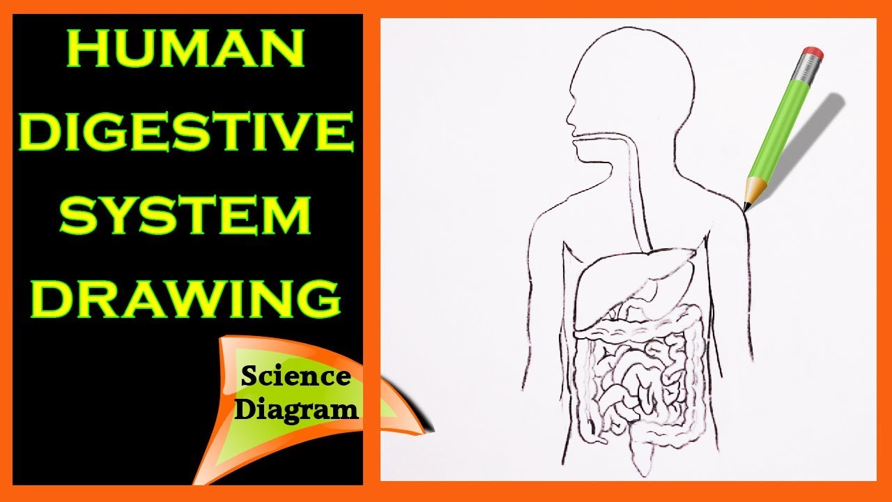 It is a picture of Challenger Drawing Of The Digestive System