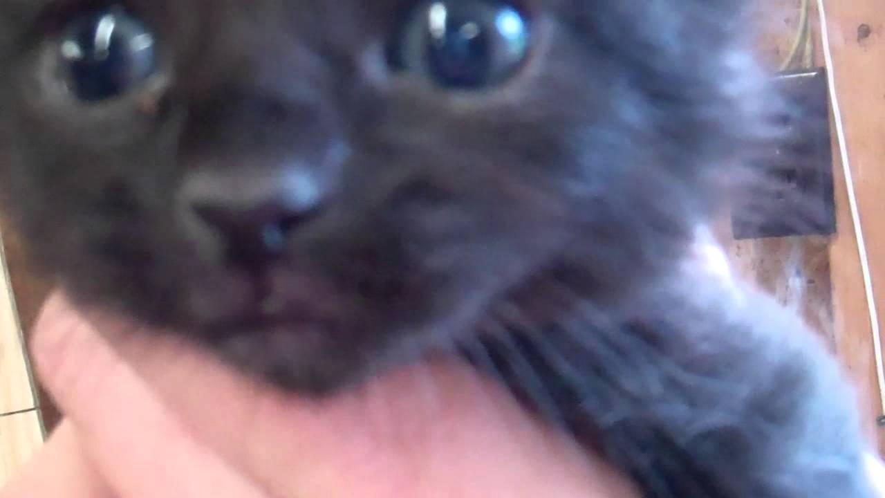 Cute black baby kitten meowing