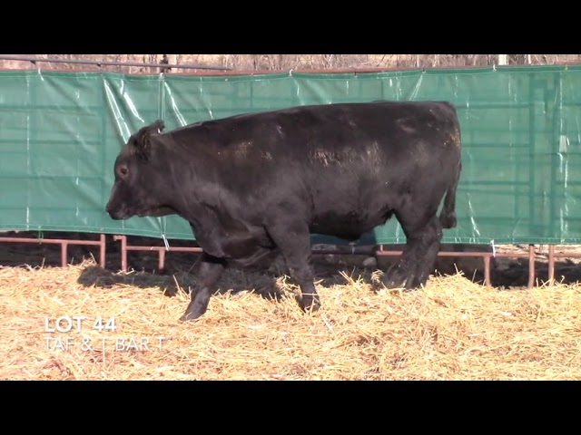 T Bar T and Taliaferro Angus Lot 44