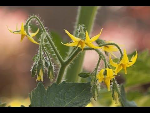 Обязательная подкормка томатов во время их цветения!