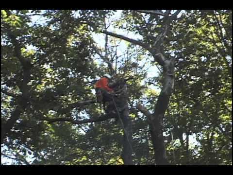 Murphy's Tree Service, Large dead oak tree removal Berwyn PA Large dead oak tree removal.mov