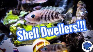 African Shell Dwelling Cichlids