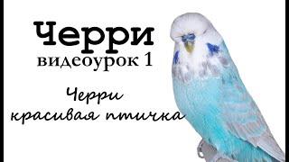 """Учим попугая по имени Черри говорить, видеоурок 1: """"Черри красивая птичка"""""""