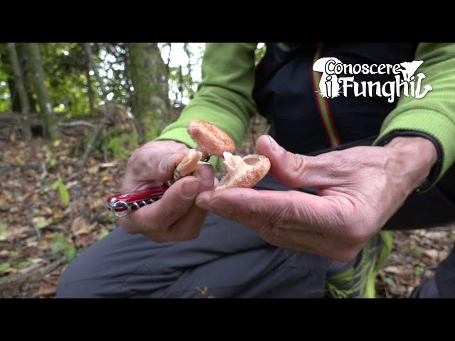 Conoscere i Funghi: Lactarius Torminosus e Lactarius Pubescens [ VELENOSO ]