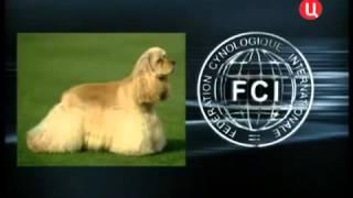 Все породы собак. Американский кокер спаниель