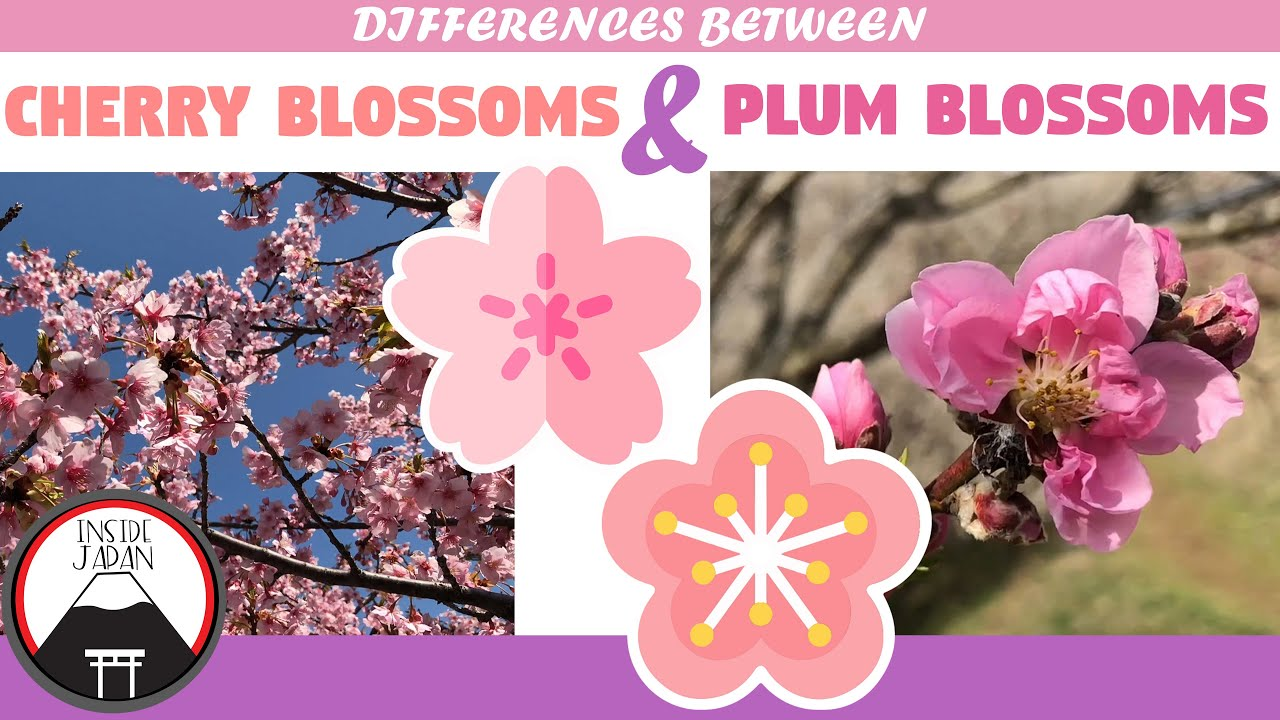 Differences Between Cherry Blossoms And Plum Blossoms Flowers Of Japan Youtube