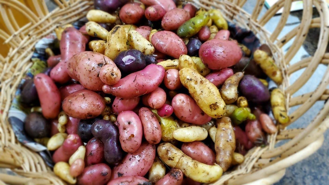 Thu hoạch khoai tây 3 màu tươi rói thấy mê 🇨🇦725》  Vườn Rau Việt