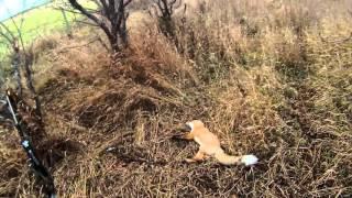 Охота на лису петлями - Ноябрь 2015