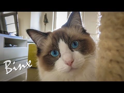 Ragdoll Cat Binx is perfect meowdel for cat photography