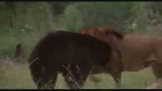 una pelea dond el heroe es el leon venciendo a un oso y salvando a ...