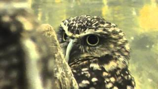 On Location: The Burrowing Owl